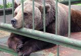 Медведя, откусившего руку пьяному мужчине в Иркутской области, усыпят