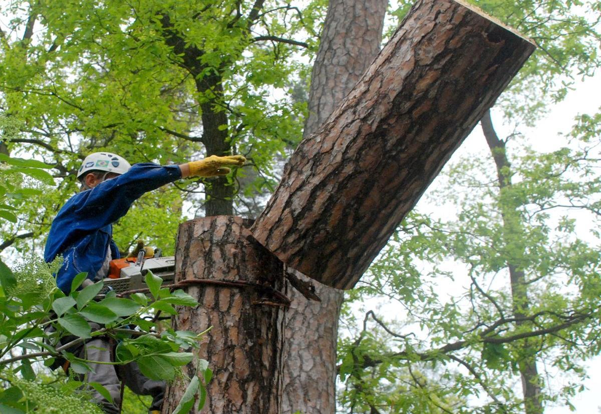 Пугаться не надо, но сегодня в Братске начнут сносить деревья
