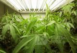 Полицейские Приангарья накрыли плантацию конопли, снабжавшую наркотиками весь регион