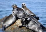 Погибшие на Байкале нерпы – это почти все беременные самки, умершие от остановки сердца