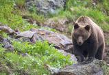Автомобиль сбил медведя на трассе Братск — Усть-Илимск