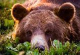 В Усть-Илимском районе медведь задрал человека